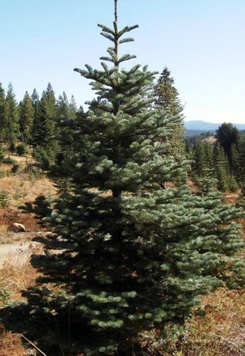 About Snowy Peaks Tree Farm